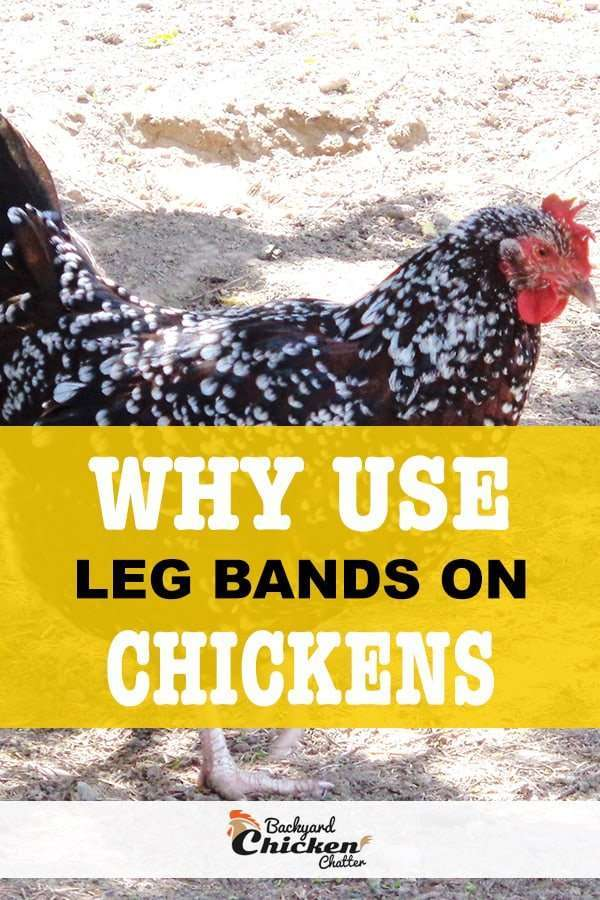 why use leg bands on chickens pin