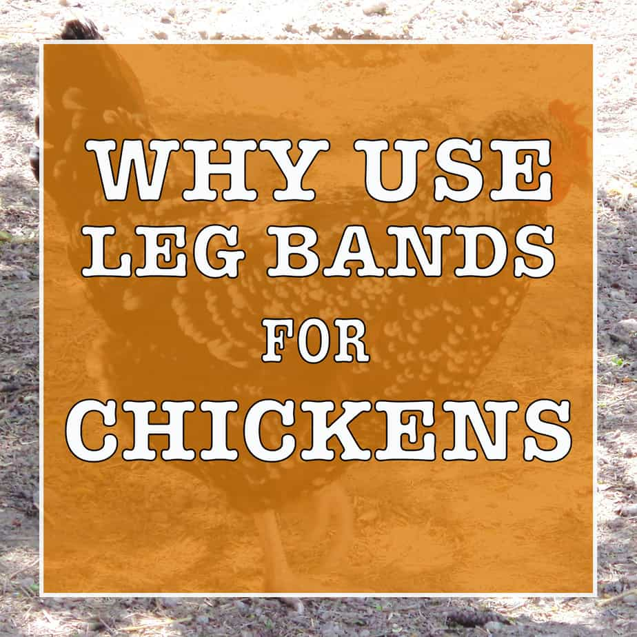 How To Use Leg Bands For Chickens