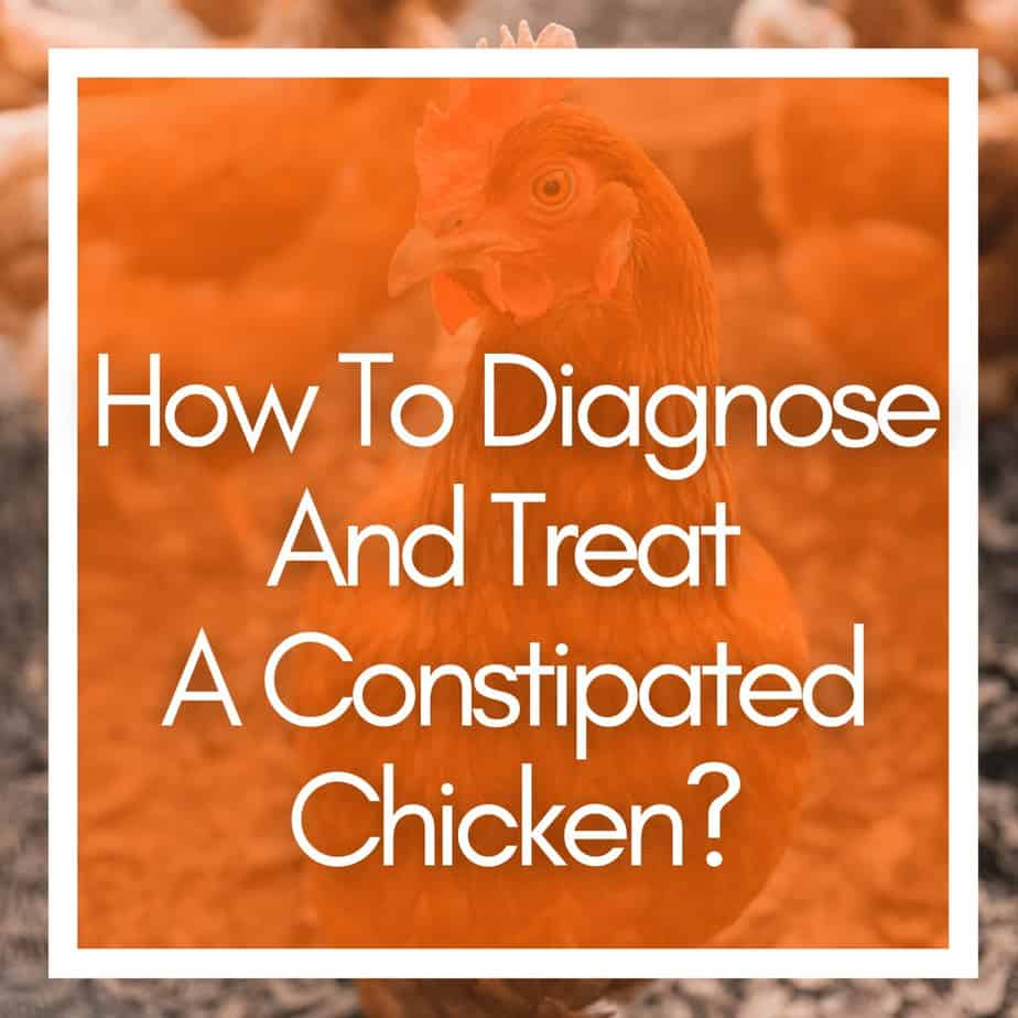 How To Diagnose And Treat A Constipated Chicken?