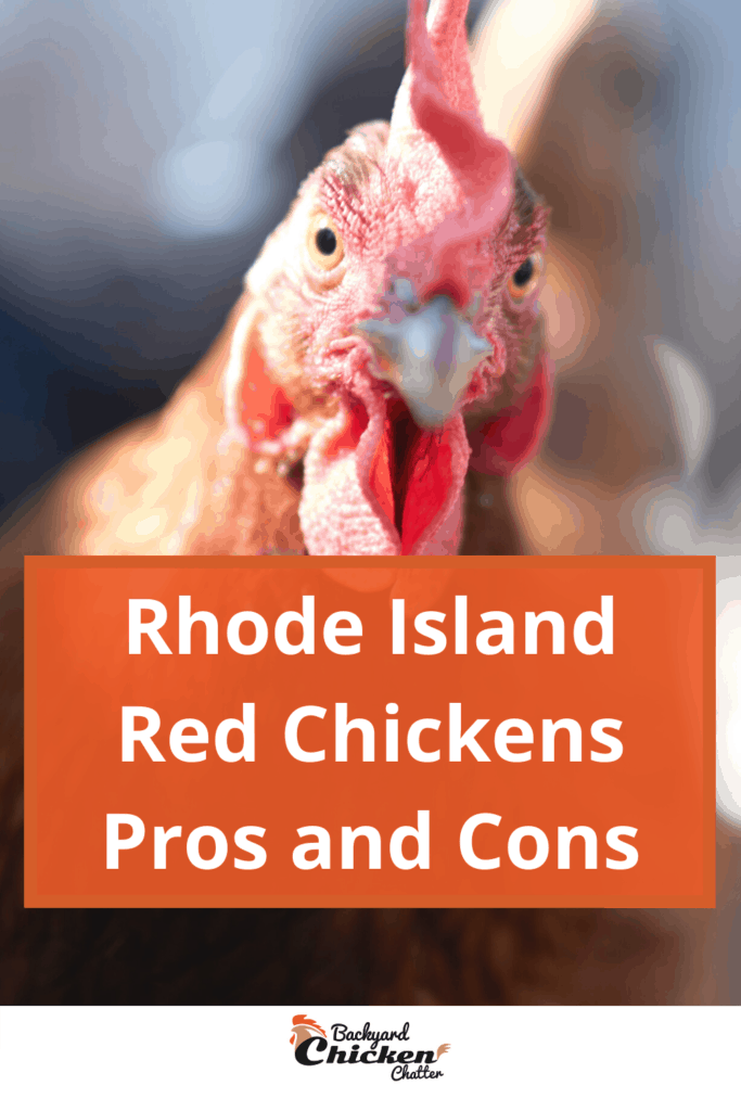 Rhode Island Red Chickens Pros and Cons-pin