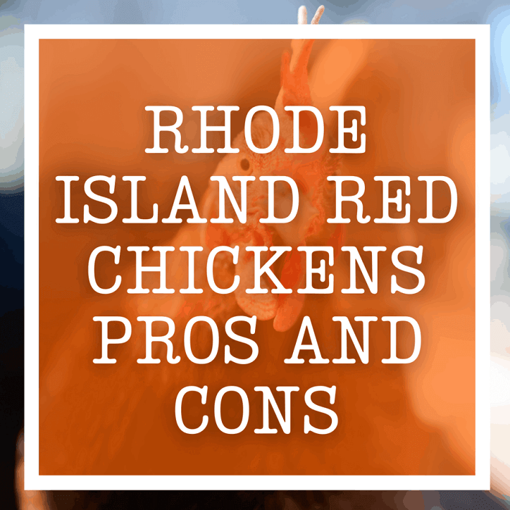 Rhode Island Red Chickens Pros and Cons