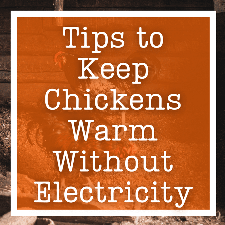Tips To Keep Chickens Warm Without Electricity