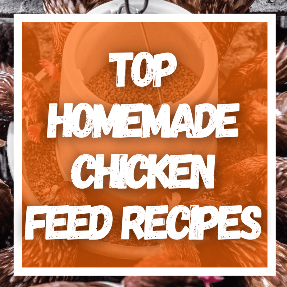 4 Top Homemade Chicken Feed Recipes