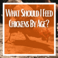 What Should I Feed Chickens By Age?