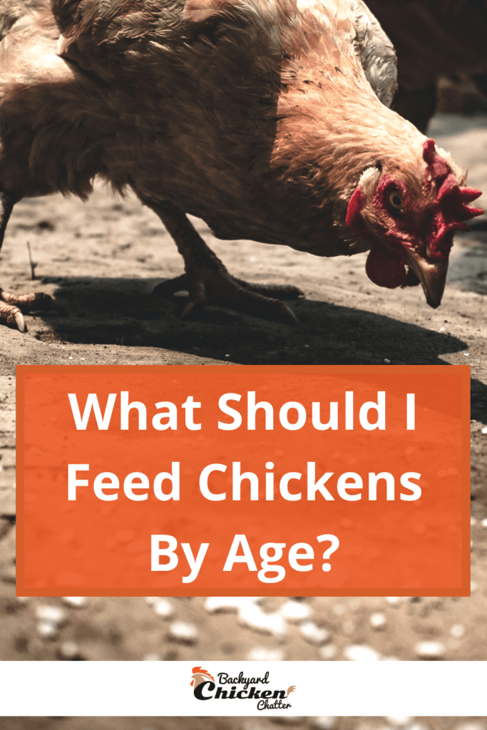 What Should I Feed Chickens By Age?-pin