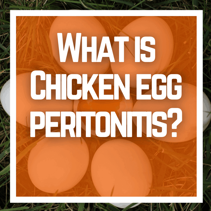 What is Chicken egg peritonitis?
