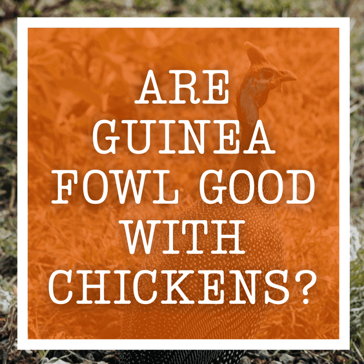 Are Guinea Fowl Good With Chickens?