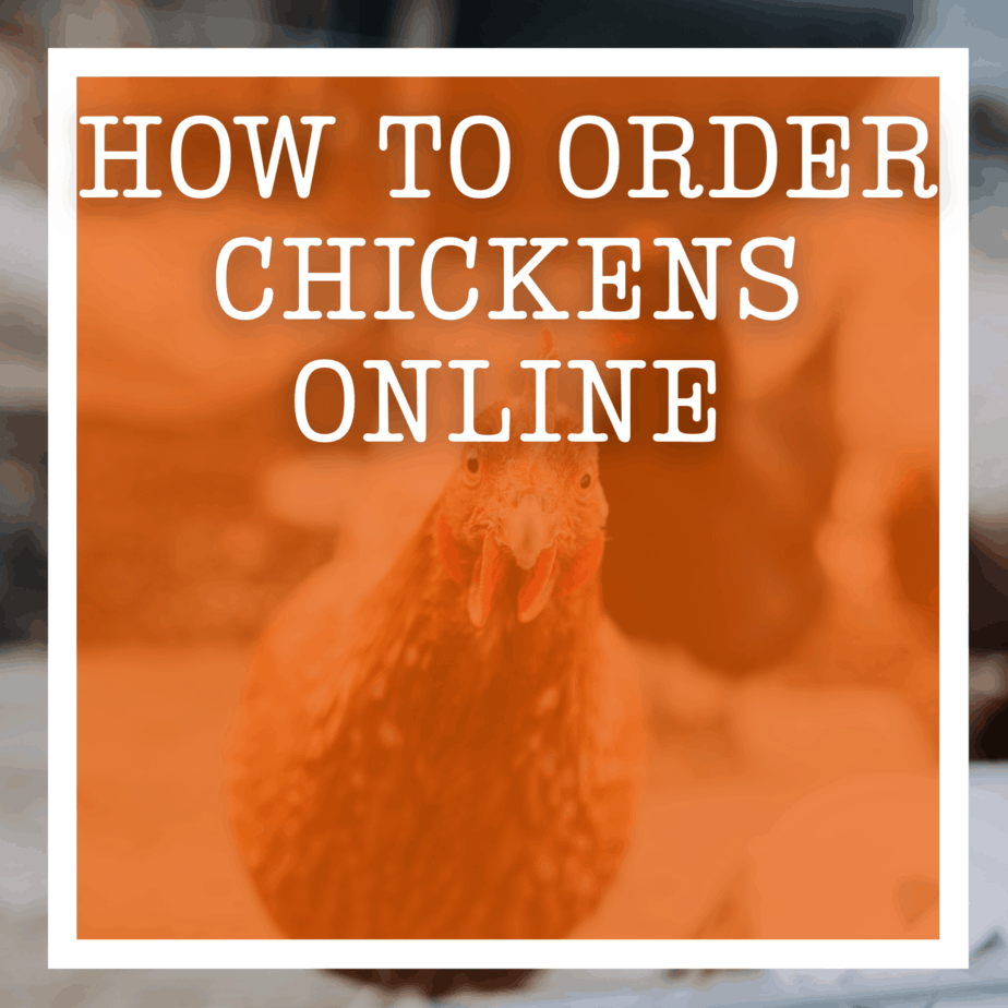 how to order chickens online