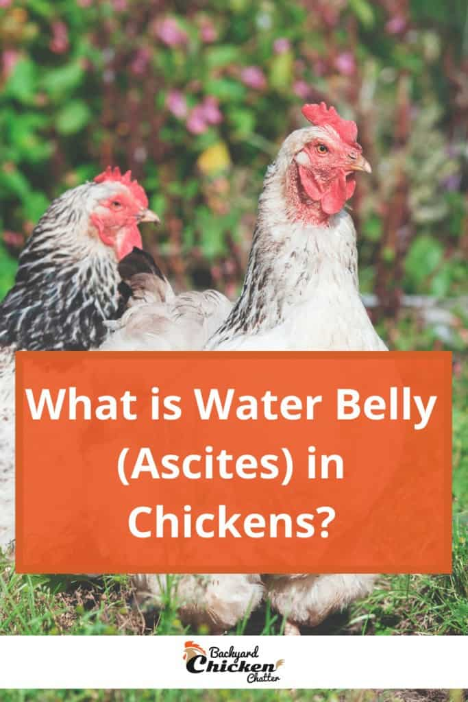 What Is Water Belly (Ascites) In Chickens?