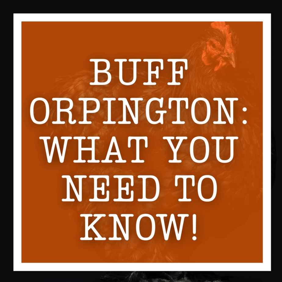 Buff Orpington: What You Need To Know!
