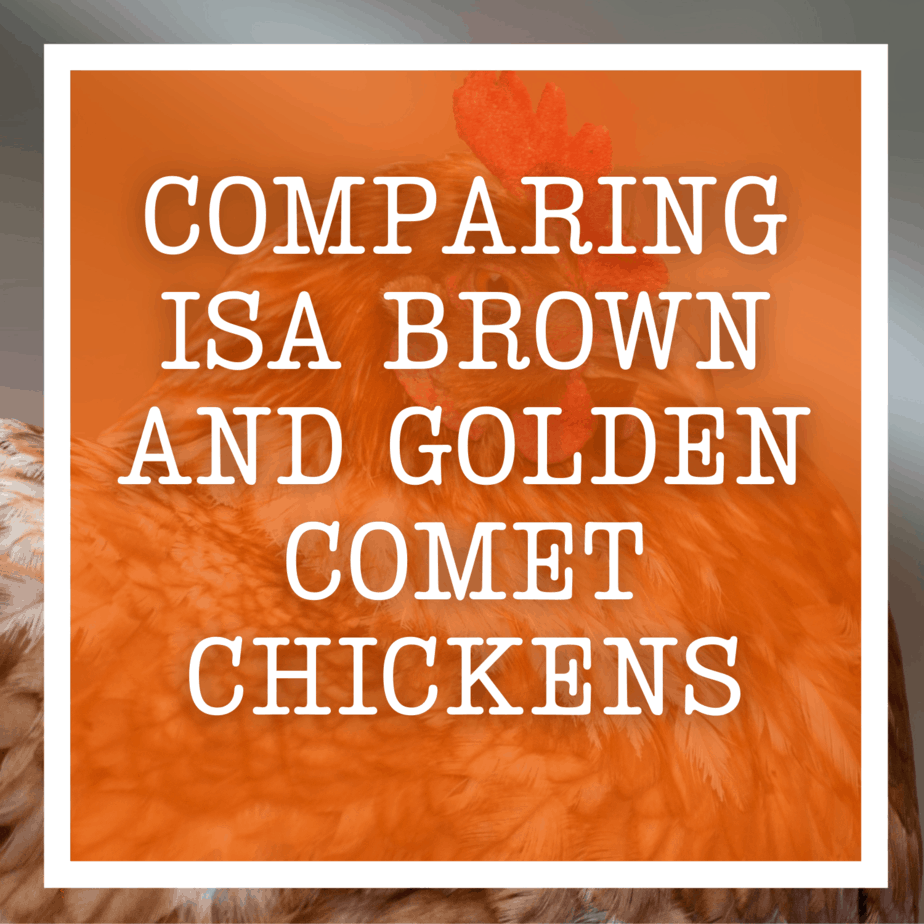 Comparing Isa Brown and Golden Comet Chickens