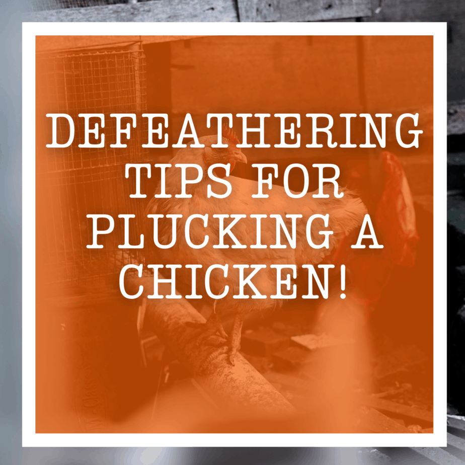 Defeathering Tips for Plucking A Chicken!