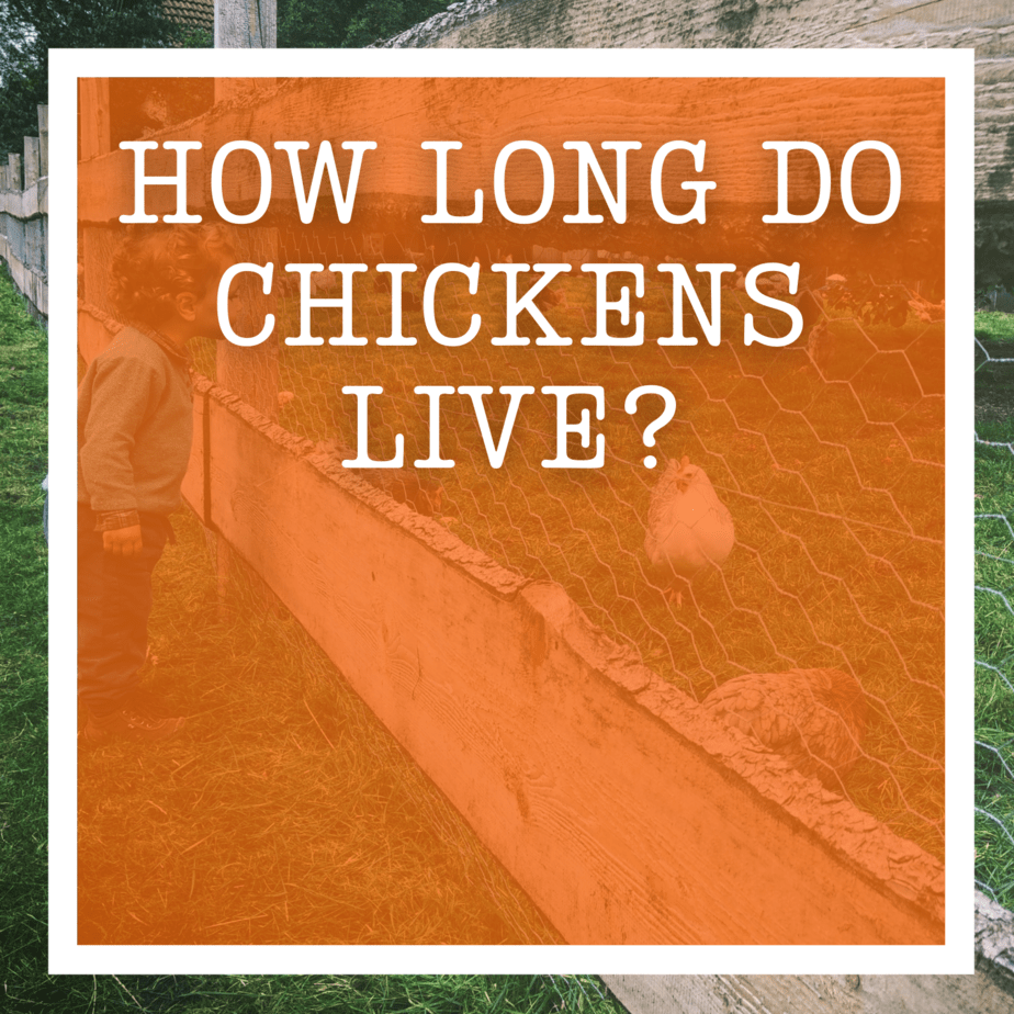How Long Do Chickens Live?