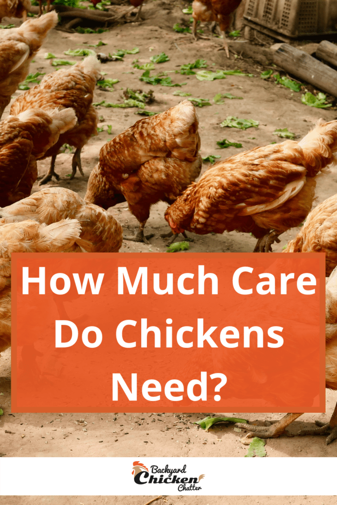 How Much Care Do Chickens Need?
