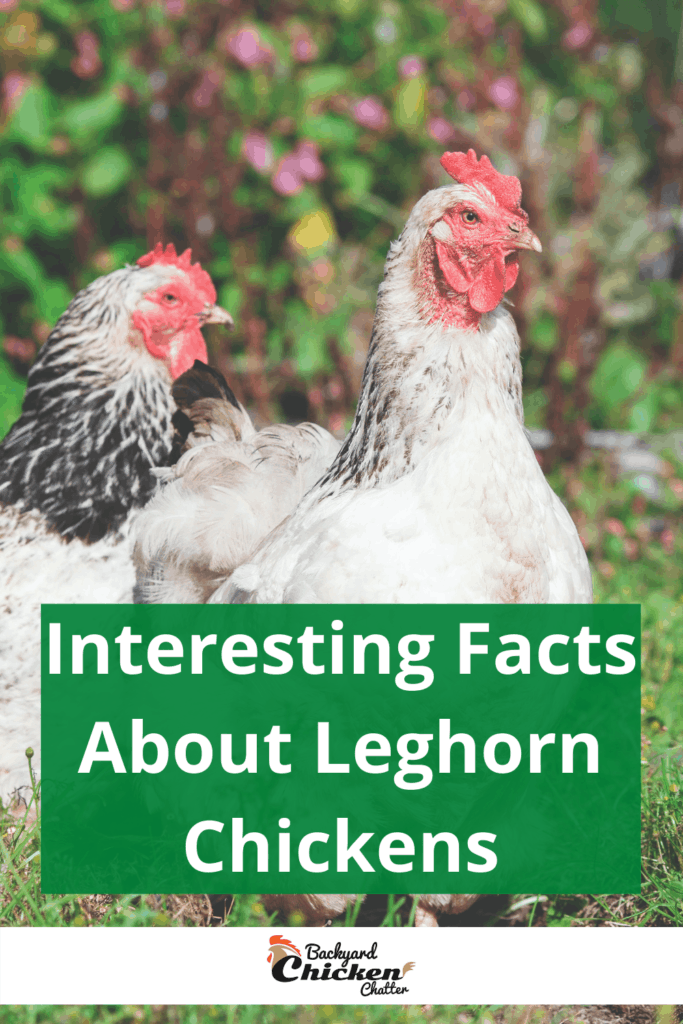 Interesting Facts About Leghorn Chickens