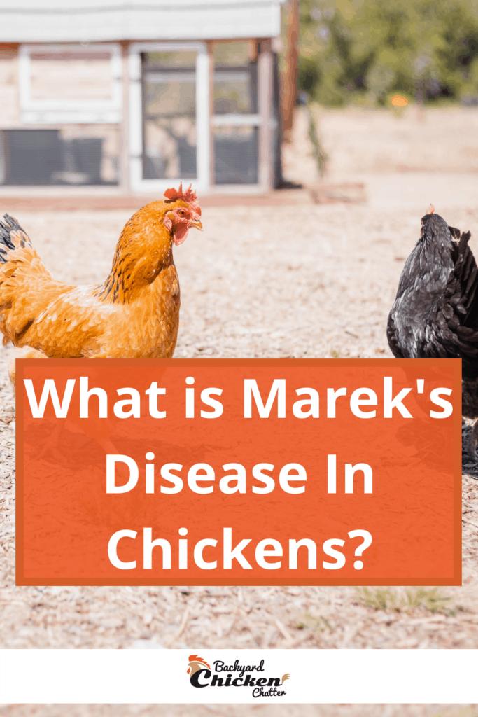 What is Marek's Disease In Chickens?