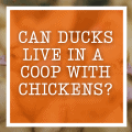 Can Ducks Live In A Coop With Chickens?