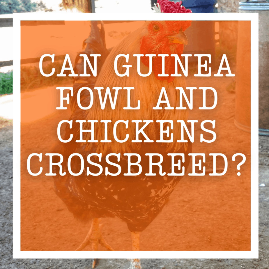 Can Guinea Fowl And Chickens Crossbreed?