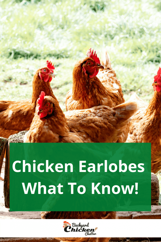 Chicken Earlobes - What To Know!
