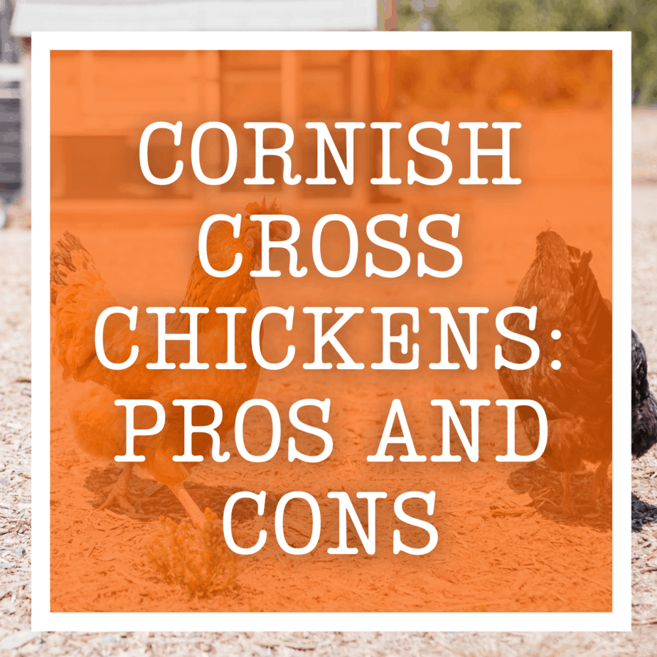 Cornish Cross Chickens: Pros and Cons