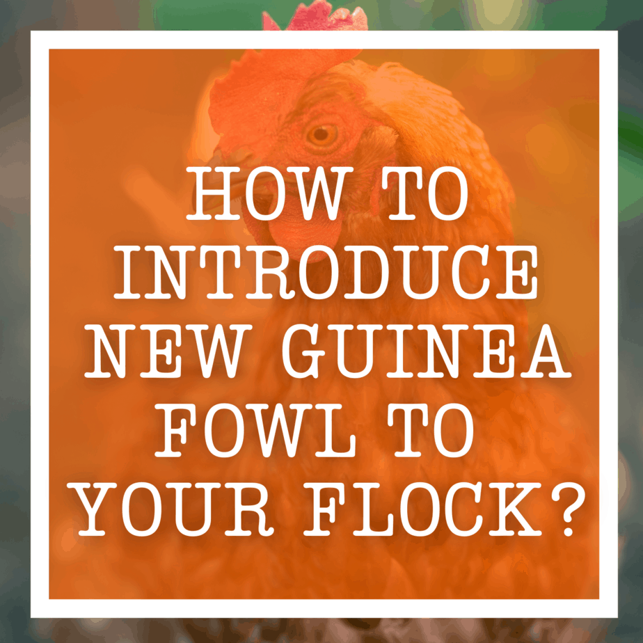 How To Introduce New Guinea Fowl To Your Flock?
