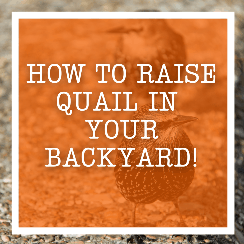 How To Raise Quail In Your Backyard!