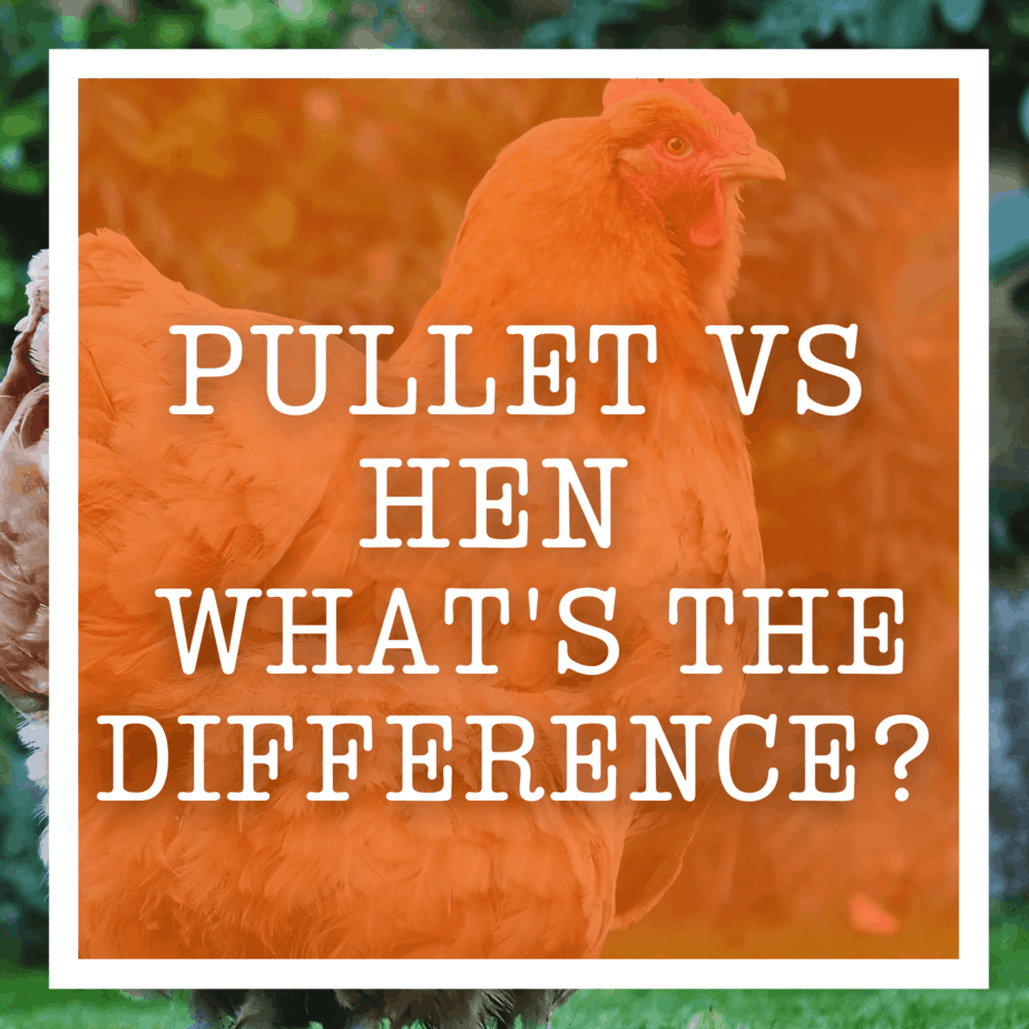 Pullet vs Hen - What's The Difference?