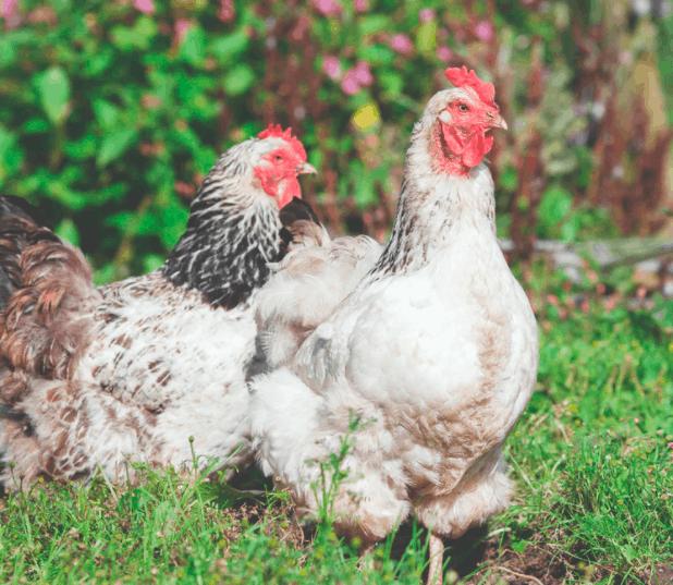 Pullet vs Hen
