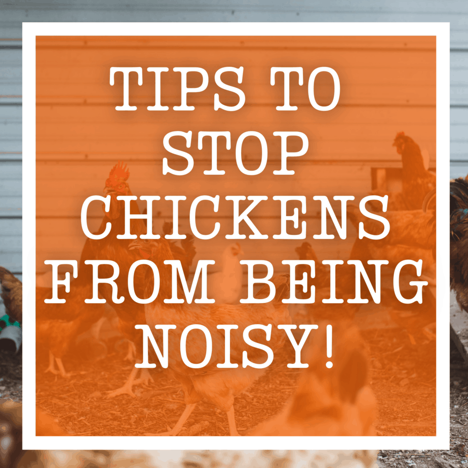 Tips to Stop Chickens From Being Noisy!Tips to Stop Chickens From Being Noisy!