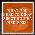 What You Need To Know About Guinea Hen Eggs!
