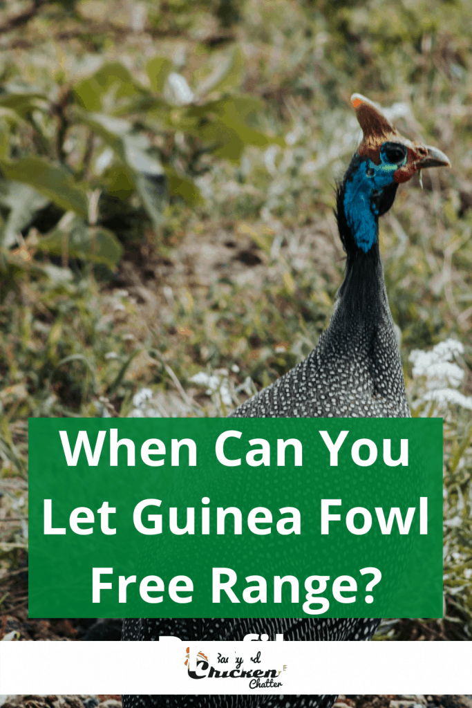 When Can You Let Guinea Fowl Free Range?