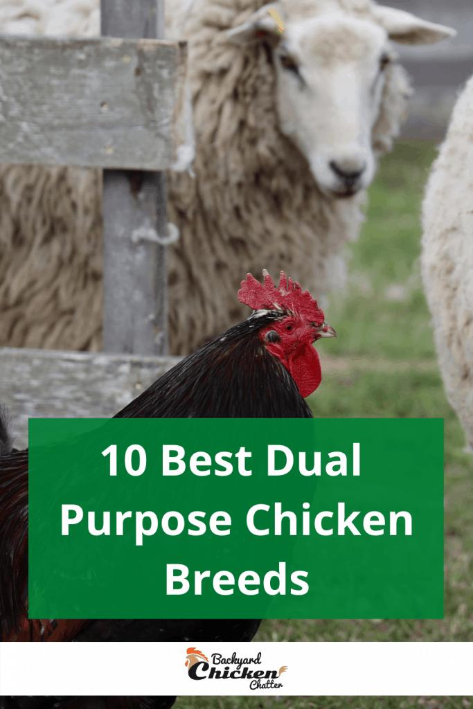 10 Best Dual Purpose Chicken Breeds