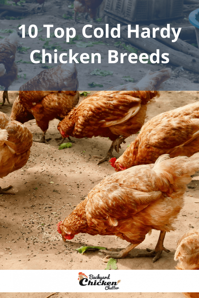 10 Top Cold Hardy Chicken Breeds