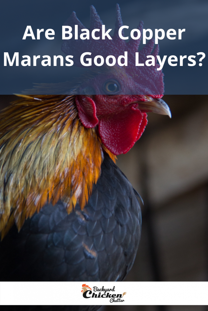 Are Black Copper Marans Good Layers?