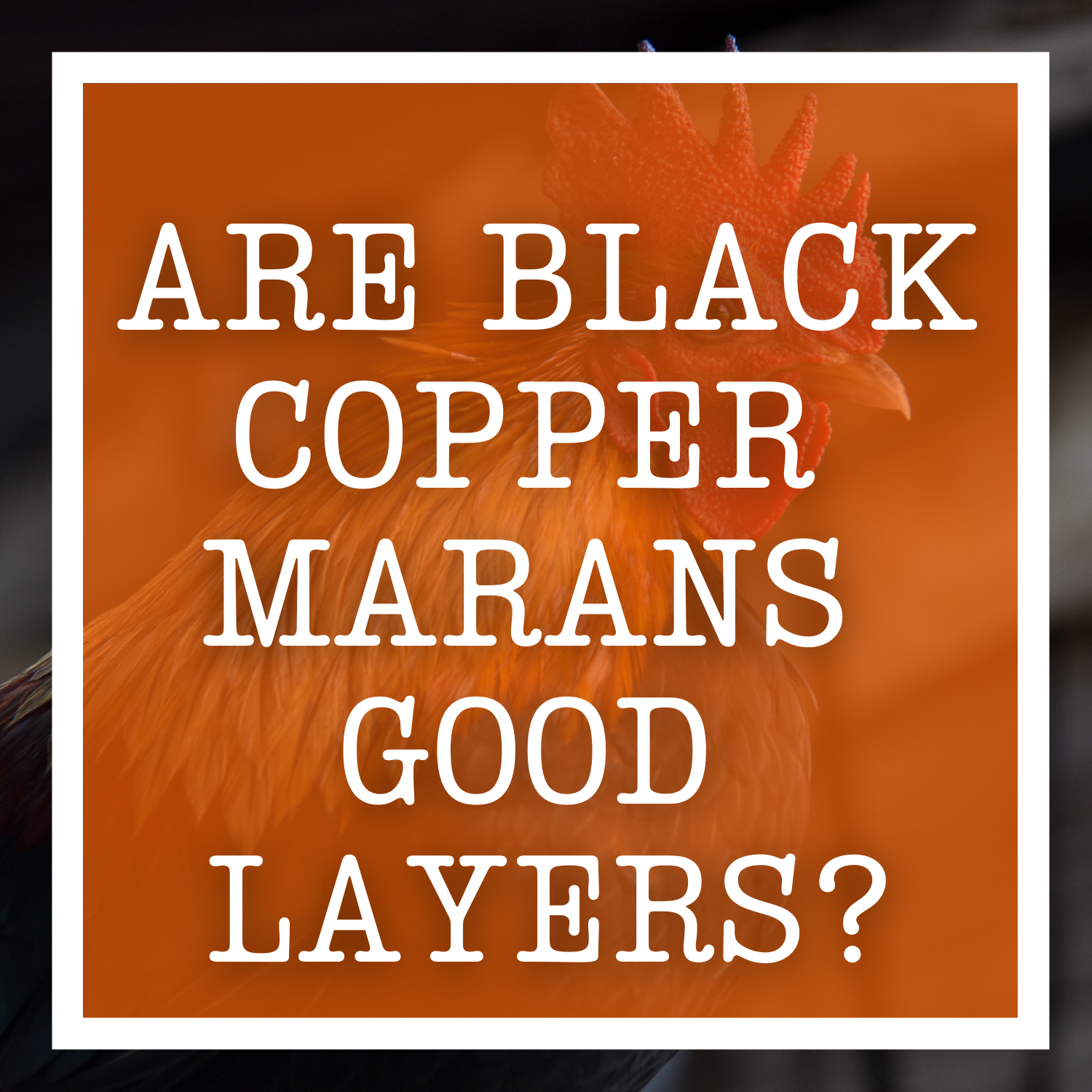 Are Black Copper Marans Good Layers?