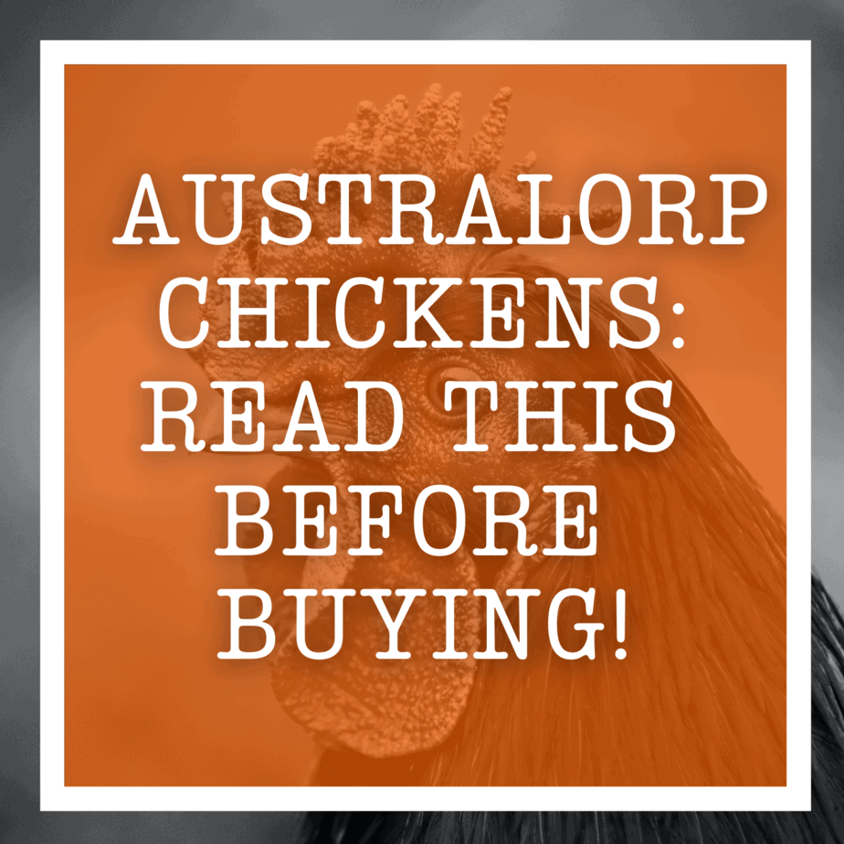 Australorp Chickens: Read This Before Buying!