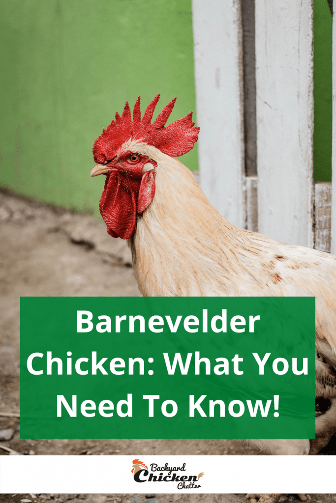 Barnevelder Chicken: What You Need To Know!