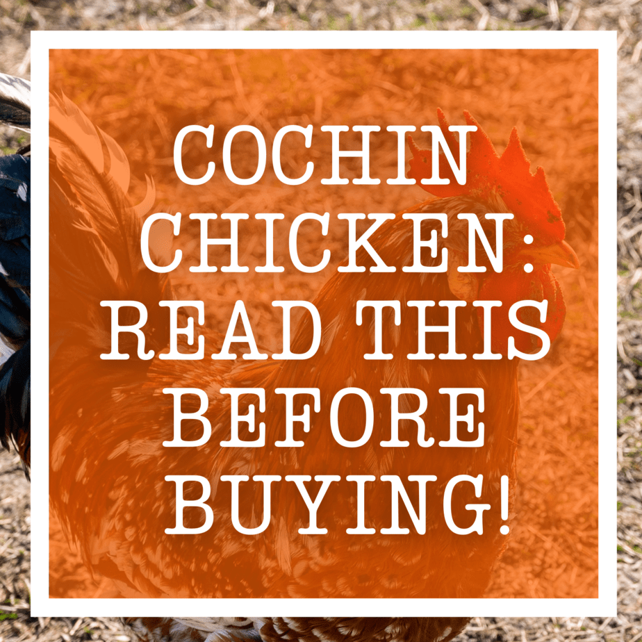 Cochin Chicken: Read This Before Buying!