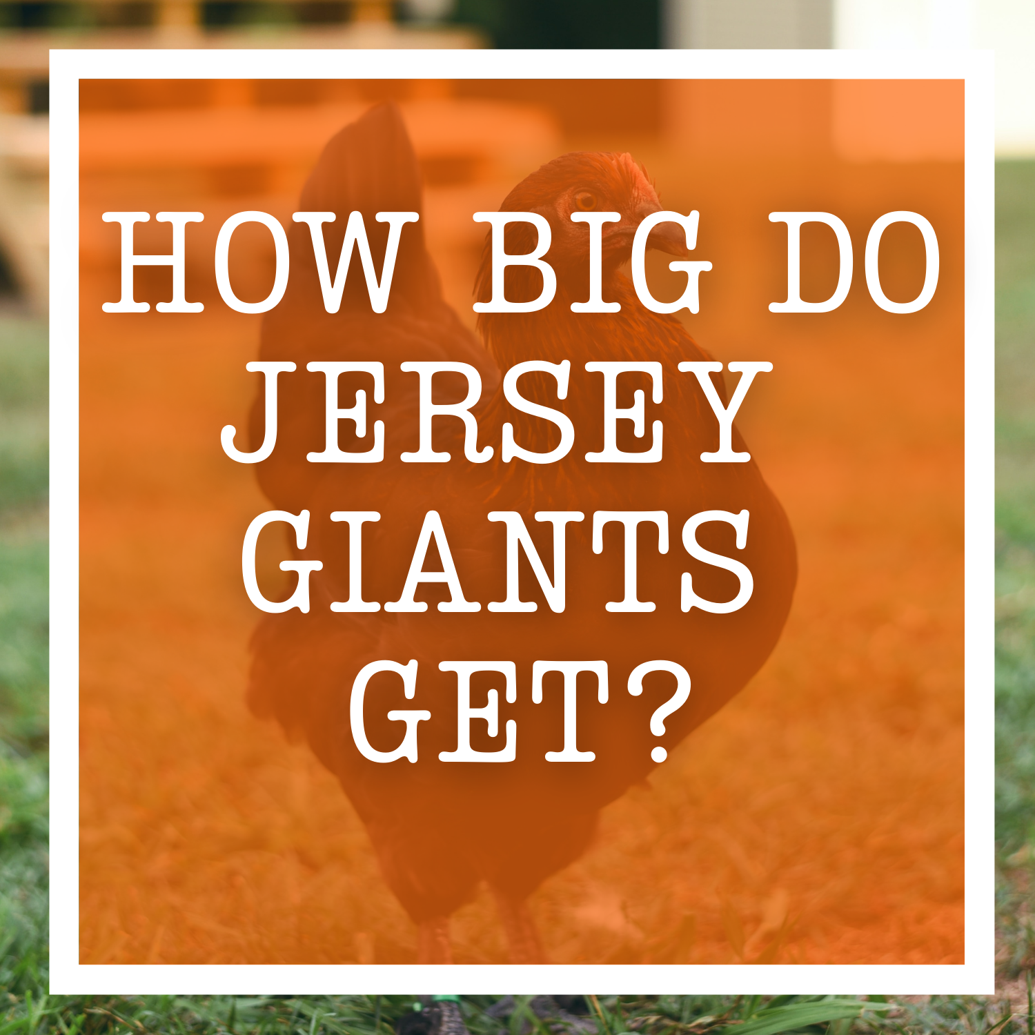 How Big Do Jersey Giants Get?