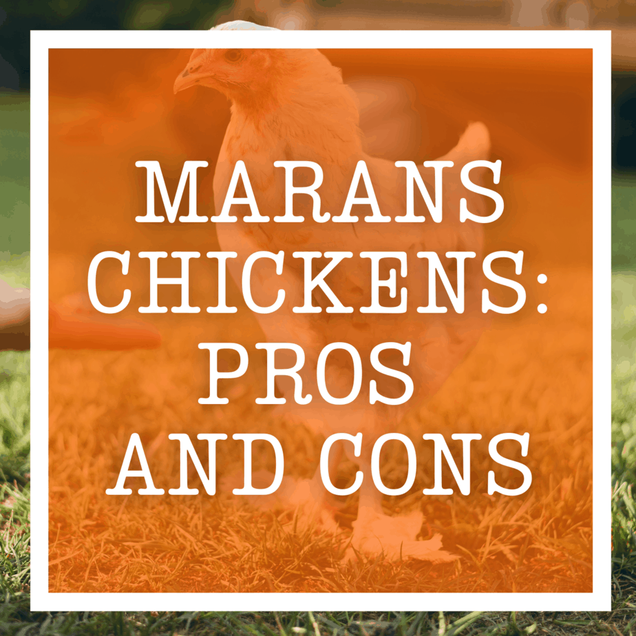 Marans Chickens: Pros and Cons