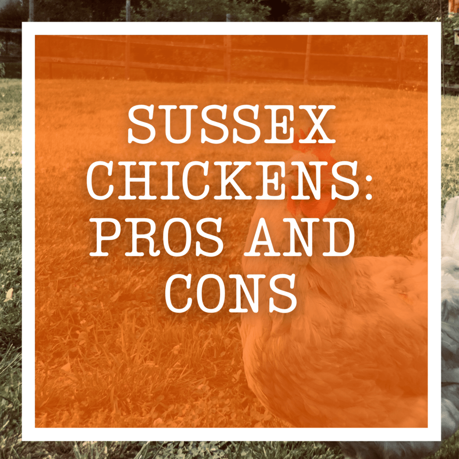 Sussex Chickens: Pros and Cons