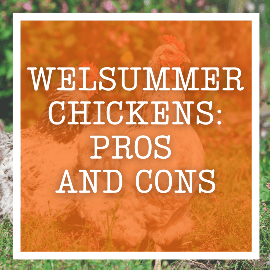 Welsummer Chickens: Pros and Cons