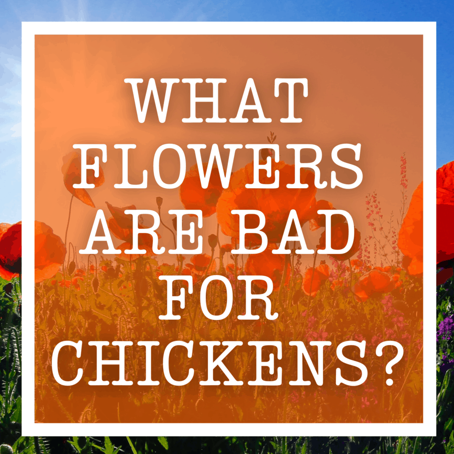 What Flowers Are Bad For Chickens?