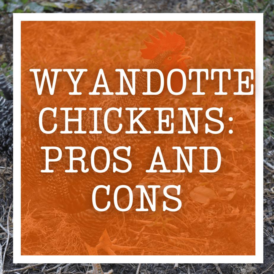 Wyandotte chickens: Pros and Cons