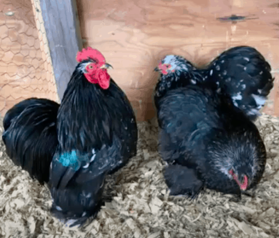 Cochin Chickens: Read This Before Buying!