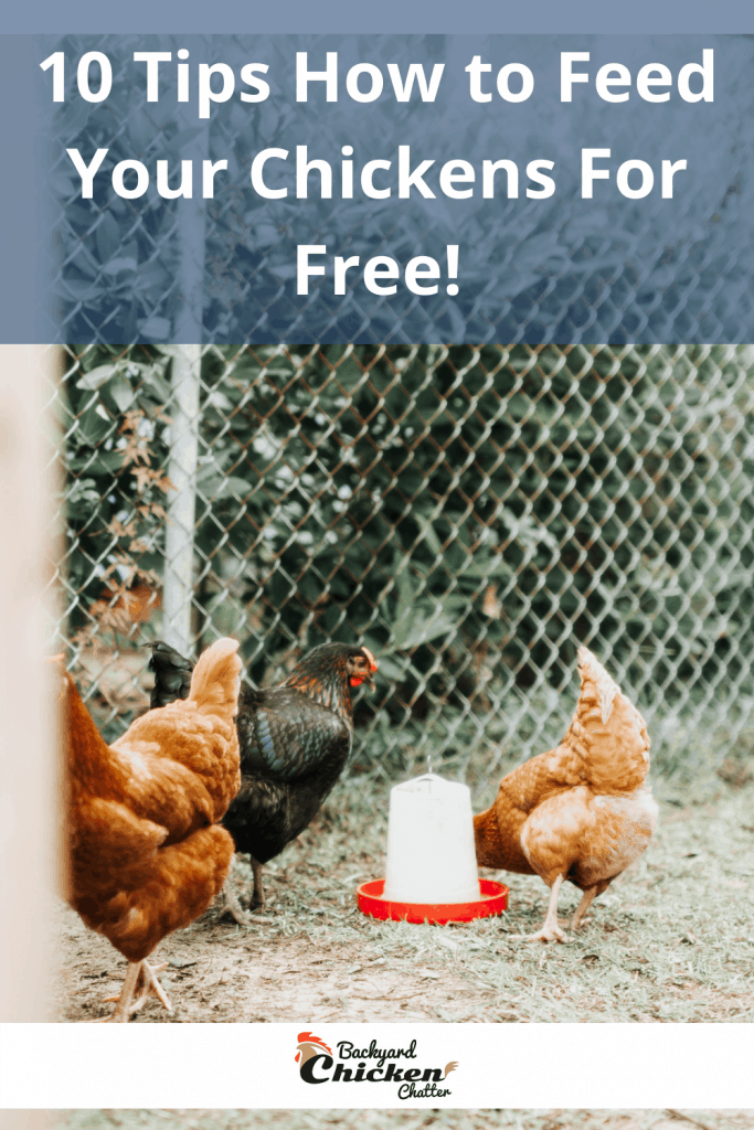 10 Tips How to Feed Your Chickens For Free!