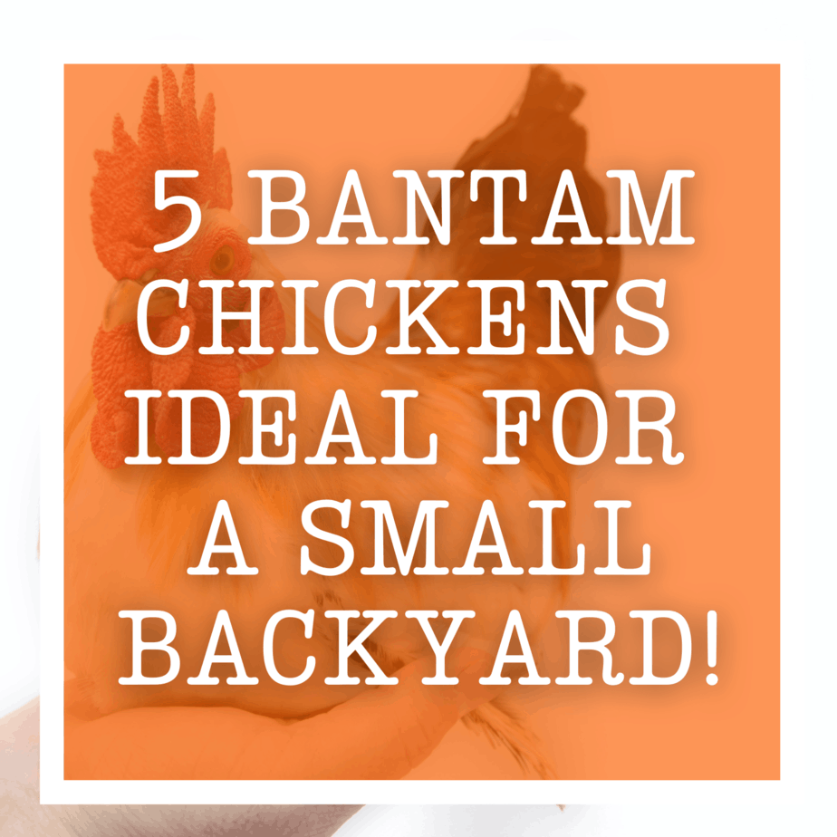 5 Bantam Chickens Ideal For A Small Backyard!