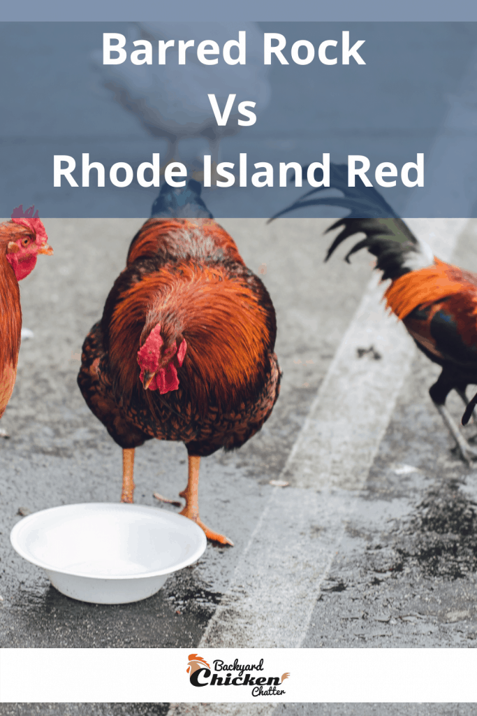 Barred Rock Vs Rhode Island Red
