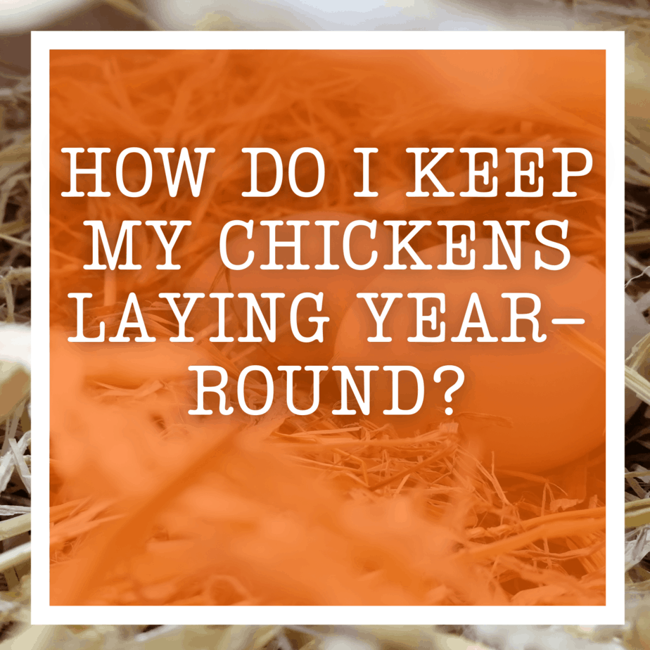 How Do I Keep My Chickens Laying Year-Round?