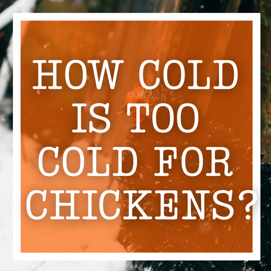How cold is too cold for chickens?